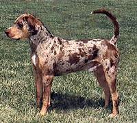 Катахула, леопардовая собака Катахулы, лузианская катахула, фото, фотография