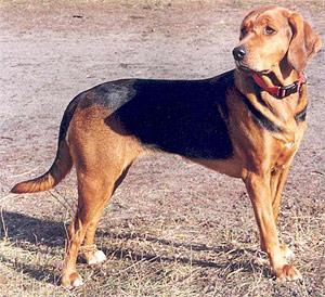 польская гончая, породы собак, фото фотография с http://upload.wikimedia.org/wikipedia/commons/e/ed/PolishHound-MlChPl-OKSANA-ZOstregoBoru-wl.JoannaZembrzuska_3.JPG, MlChPl