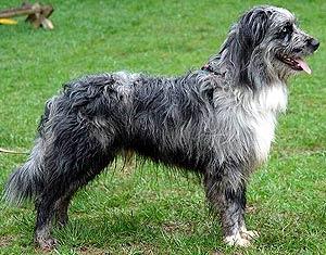 португальская водная водяная собака, кан ди агуа, фото, фотография