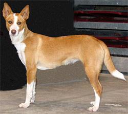 большой португальский поденгу, породы собак, фото фотография c http://www.dogsindepth.com/hound_dog_breeds//images/portuguese_podengo_h04.jpg