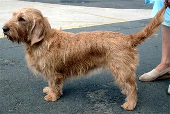 Рыжий бретонский бассет, породы собак, фото фотография