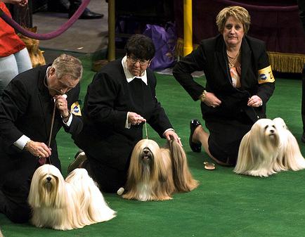 Лхасский апсо, лхаса апсо, фото породы собак фотография