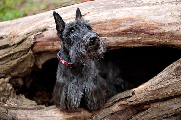 Скотч-терьер, шотландский терьер, фото породы собак фотография