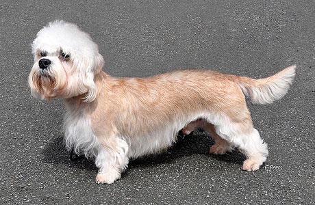 Денди-динмонт-терьер, фото породы собак фотография